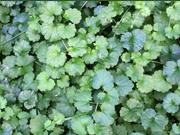 Southwestern Ontario Weeds